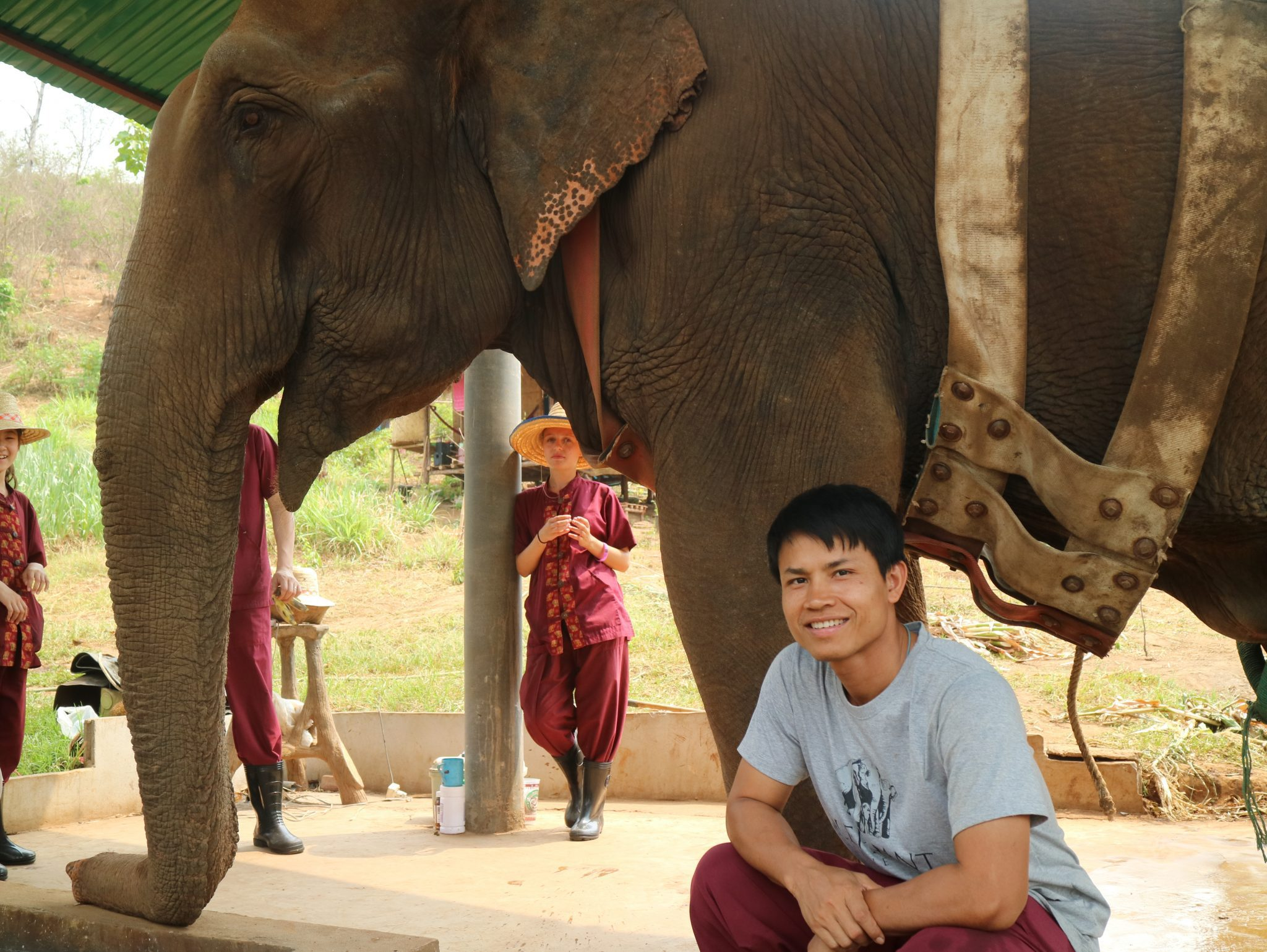 Female ♀ Asian elephant (Elephas maximus) Bua Lai (Jeab) at TECC (Thai Elephant Conservation Center Hospital and National Elephant Institute)