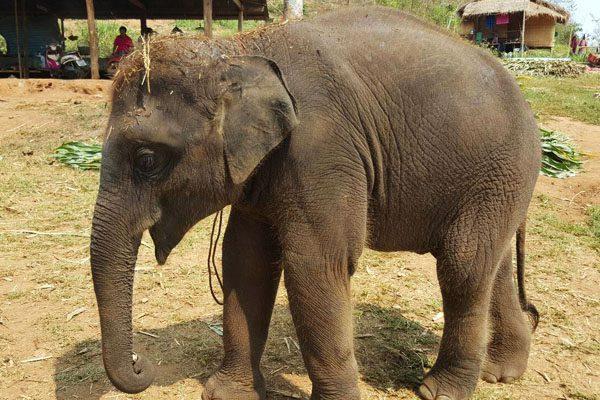 Asian elephant (Elephas maximus) Nam Choke (Big Eyes) at Chiang Mai Elephant Rescue Park